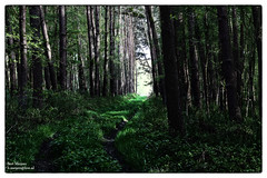 Munster forrest (thanks for visiting my page) Tags: life green nature photography spring groen fotografie forrest natuur bos lente leven bilzen bmeijers bertmeijers
