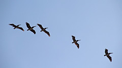 pelicans flying in formation (joybidge (back from vacation)) Tags: panamacanal naturepatternscanada trishcanada tsmay62013