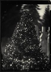 Blossom-strewn Tree (kavandje) Tags: ambrotype wetplate largeformat collodion 13x18 emilbuschrathenowportraitaplanat2