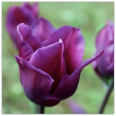 Last Easter's Tulips (Read2me) Tags: flower tulip purple dof bokeh cye challengegamewinner gamewinner herowinner superherochallengewinner thechallengefactory yourock2nd pregameawarded favescontestwinner friendlychallenges agcgwinner gamex2winner x2 thumbsup storybookwinner otr perpetualchallengewinner