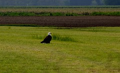 Bald Eagle (shutterbusterbob) Tags: wild brown white black color green bird field grass burlington canon eos washington eagle farm wildlife baldeagle sigma washingtonstate canoneos skagitvalley skagitcounty rebelxti