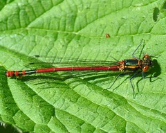 Large Red Damselfly (Pyrrhosoma nymphula) (marmendy mill) Tags: macro closeup bug insect photo nikon 1001nights damselfly essex greenleaf odonata rochford zygoptera magnoliapark coenagrionidae pyrrhosomanymphula largereddamselfly