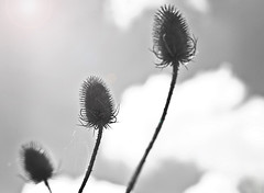 Three Teasles (Erminger) Tags: sky bw white black clouds cobweb teasles