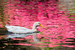 Azalea Reflections (rianklong) Tags: park pink usa reflection water animal oregon garden portland duck crystal or wildlife springs rhododendron azalea crystalsprings crystalspringsrhododendrongarden canonef70200mmf28lisusm canonextenderef2xii canoneos5dmarkii canon5dmarkii