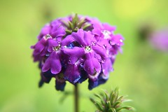 verbena 3 s (brooke.mullins.doherty) Tags: flower purple verbena