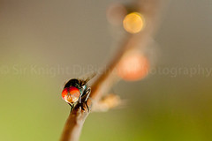 IMG_8920 (Richard Lumpas) Tags: macro eye animal animals canon bug insect fly eyes insects bugs flies elitebugs