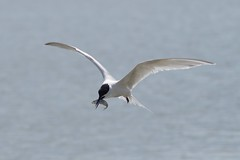 Sandwich Tern (Derek Morgan Photos) Tags: sandwichtern brownseaisland