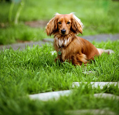 Day 124 (42zx) Tags: portrait dog pet animal canon miniature mark 85mm ii 5d 365 dachsund