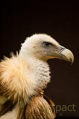 Griffon Vulture (paul kamphuis) Tags: bird birds animal animals vogels creatures creature dier vogel zoology