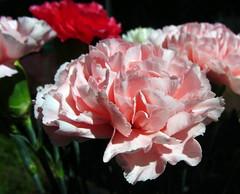 Carnations (flips99) Tags: pink flowers red white june norway petals rosa dianthus carnation rød blomster cutflowers dianthuscaryophyllus hvit bukett 2013 kronblad nellik canonpowershotsx220hs