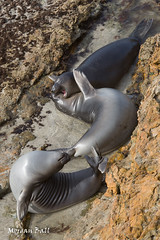 Juvenile Northern Elephant Seals (Mirounga angustirostris) playing in a tidepool. (MorganBall) Tags: ocean california beach water animal animals vertical horizontal mammal island coast marine unitedstates cove wildlife coastal seal coastline wilderness fullframe predator tidepool marinemammal recovery animalia mammalia rookery biodiversity sandybeach haulout santabarbaracounty channelislandsnationalpark thermoregulation rockycoastline chordata sanmiguelisland miroungaangustirostris pinnipedia wildlifephotography twoanimals warmblooded marinemammalprotectionact endothermic northernelephantseal piscivore trueseal hauloutsite cardwellpoint phocidea morganball