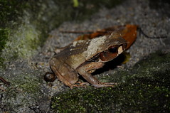 Smooth skinned or Masked Toad (Rhaebo haematiticus) (Sky and Yak) Tags: nature america wildlife smooth toad panama masked amphibians naturalworld centralamerica herpetology bufo skinned herptile rhaebo haematiticus