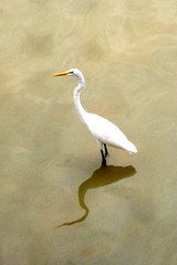 Egret in Hamirsar Lake, Bhuj (bodythongs) Tags: voyage travel india lake bird tourism heron animal photo nikon alba great ardea eastern egret indien oiseau bharat gujarat bhuj   modesta   hamirsar  indiya    d5100    guyarat       bodythongs