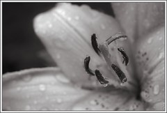 Lily (spodzone) Tags: blackandwhite art nature closeup composite composition manipulated lens photography flora warm soft dof lily emotion affection bokeh calm equipment filter stamen growing pentacon favourite simple toned platinum contrasts tranquil stacked contentment asiaticlily digikam shapeandform rawconversion pentacon50mm sharpsoft enfuse darktable photivo abstractqualities digitallowpass