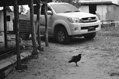 the chicken won't cross the road (1davidstella) Tags: white black chicken village kampung stilts indigenous settlement kudat tipofborneo simpangmengayau rungus