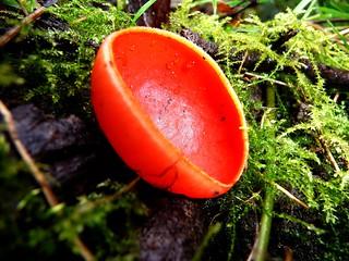 Sarcoscypha coccinea - Pézize écarlate (FR) - Scarlet elf cup, scarlet elf cap, scarlet cup (UK) - Tazza scarlatta degli elfi  (IT) - Rode kelkzwam, Rode bekerzwam (NL) - Scharlachroter Kelchbecherling (DE) - Czarka szkarłatna (PL)
