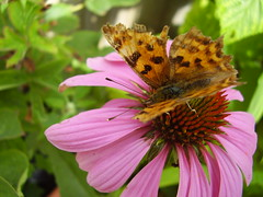 Aug2013 138 Polygonia c-album - Comma on Echinacea (monica_meeneghan) Tags: flowers butterfies summer13 bigbutterflycount