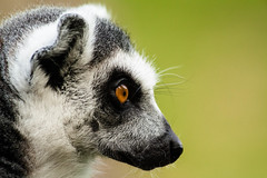 Obligatory lemur side shot