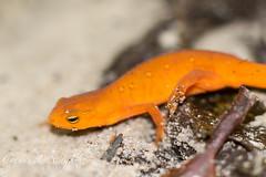 Untitled (gauravs82) Tags: orange amphibian salamander lizard spots newt eft easternnewt redspotted aposematic