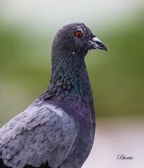Rock Dove (Columba livia) or Rock Pigeon (Dr.Bhattu) Tags: india bird rock photography pigeon dove or livia hyderabad columba telangana bhattu thegoldenachievement