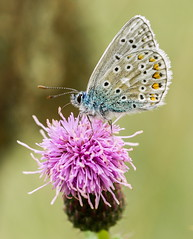 101 Common Blue butterfly (Polyommatus icarus), Brandon Marsh, Warwickshire, 19 Aug 2013 (Lathers) Tags: warwickshire commonblue polyommatusicarus brandonmarsh canonef100f28lmacro wkwt 19aug2013