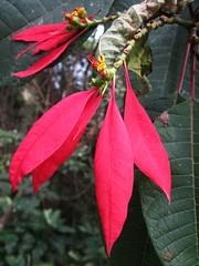 Minca, Colombia (Dec-2010) 13-003 (MistyTree Adventures) Tags: flower southamerica colombia tropicalflower minca