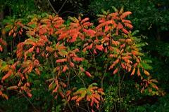 Wall of red (Vox Sciurorum) Tags: leaves massachusetts sumac newton auburndale 300mmf4d