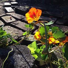"#nasturtium #fleurs #autumn #garden #yellow #orange • <a style=""font-size:0.8em;"" href=""https://www.flickr.com/photos/61640076@N04/10370956966/"" target=""_blank"">View on Flickr</a>"