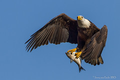 A Bird and his fish (Jerry_a) Tags: birds eagle baldeagle maryland raptor birdsofprey birdinflight conowingodam canonef500mmf4lisusm canon7d vision:mountain=0739 vision:outdoor=099 vision:sky=0675