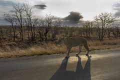 Lioness (Sheldrickfalls) Tags: southafrica lion lioness krugernationalpark krugerpark kruger limpopo olifants pantheraleo letaba olifantsrestcamp