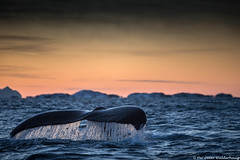 Humpback Whale making a dive (Pewald) Tags: nature norway wildlife arctic whales humpback