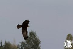 Falco di palude (marco.angelini83) Tags: nature birds animals natura uccelli palude animali falco bentivoglio larizza