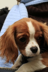 'Violet' Cavalier King Charles Spaniel (Keith Park) Tags: dog pet cute proud lady canon sweet violet adorable canine 7d spaniel cavalier pup pooch cavalierkingcharlesspaniel pedigree lovable kingcharlesspaniel canon7d