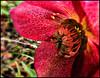 Carmine Hellebore (ronramstew) Tags: uk england flower liverpool flora hellebore christmasrose carmine mansions princespark croxtethroad mersesyide mygearandme