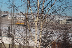 Around the house on a cold winters day (davebloggs007) Tags: calgary leaf cut birch