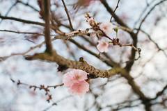 Plum blossoms (Laurence Vagner) Tags: pink flower tree fleur cherry spring blossoms arbre printemps prunus