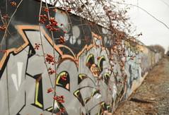 Bittersweet and Graffiti (HorsePunchKid) Tags: graffiti plantae lirr longislandrailroad magnoliophyta celastraceae celastrus celastrales taxonomy:kingdom=plantae taxonomy:order=celastrales bayridgebranch taxonomy:phylum=magnoliophyta taxonomy:family=celastraceae taxonomy:claderoot=plantae taxonomy:genus=celastrus clade:magnoliopsida=celastrales clade:plantae=tracheophyta clade:tracheophyta=magnoliopsida clade:celastrales=celastraceae taxonomy:common=staffvine clade:celastraceae=celastrus taxonomy:eolid=50553