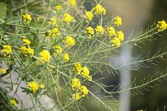 20140412-_DSC3817 (Fomal Haut) Tags: flower green spring nikon hana         nikond4  mineoka