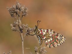 Zerynthia rumina (diegocon1964) Tags: lepidoptera papilionidae papilionoidea zerynthia parnassiinae zerynthiarumina rumina luehdorfiini