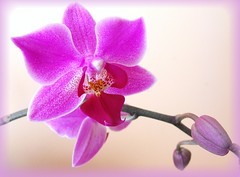 Orchid -  (Stella VM) Tags: pink flowers orchid flower colour rosa