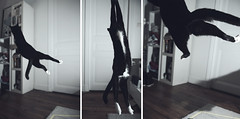 Spider Cat (A-lain W-allior A-rtworks) Tags: cat fly flying crazy jump chat flight spiderman gravity catch vole saut fou jeu gravit volant apesanteur