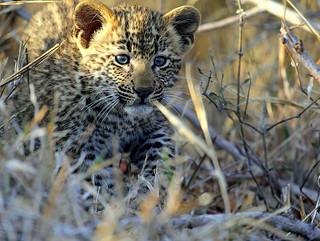 Leopard Cub in Sabi Sands S.A