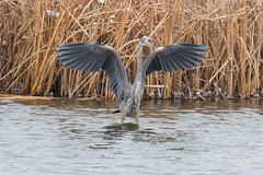 February 4, 2015 - A Great Blue Hero shows off in a Thornton pond. (Tony's Takes)