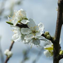 Greengage 'Reine-Claude de Bavay' (Alan Buckingham) Tags: fruit blossom plum rhswisley prunusdomestica greengage greengagereineclaudedebavais greengagereineclaudedebavay