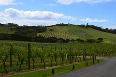 Who's thirsty? (NPS Aficionado) Tags: newzealand vineyard auckland northisland waiheke
