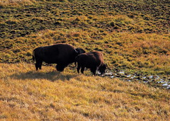 Bisons in Yellowstone (nikidel) Tags: lake nature america forest river montana meadow unesco idaho national caldera yellowstone wyoming overlook bison ecosystem
