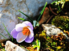 Crocus in Parnitha (philos from Athens) Tags: crocus     picmonkey