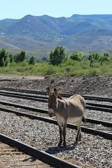 clarkdale burros jerome 3 (Verde Canyon Railroad) Tags: railroad arizona animals donkeys az depot wildwest burros verdecanyonrailroad traindepot verdevalley clarkdale smalltownlife westernusa verdecanyonrr clarkdalearizona clarkdaleburros