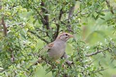 Rufous-winged Sparrow  Patagonia SP   AZ   2015-07-09at11-28-371