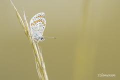 un argus bleu minuscule. (vyclem78) Tags: mai papillon yc vexin argusbleu